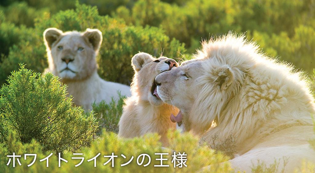 ホワイトライオンの王様
