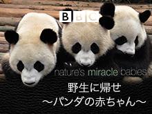 野生に帰せ!~パンダの赤ちゃんに密着~