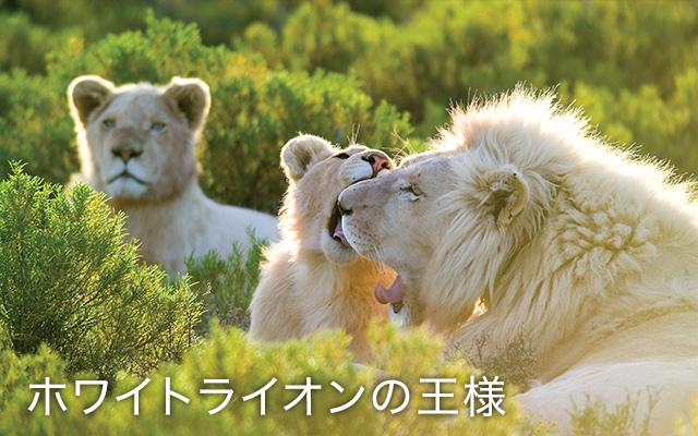 (日本語吹替版)ホワイトライオンの王様