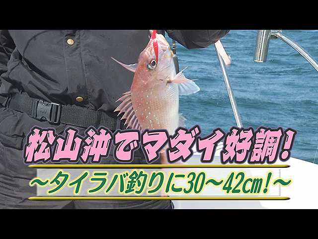 松山沖でマダイ好調!タイラバ釣り30~42cm