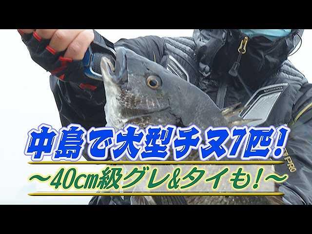 中島で大型チヌ7匹!40cm級グレ&タイも!