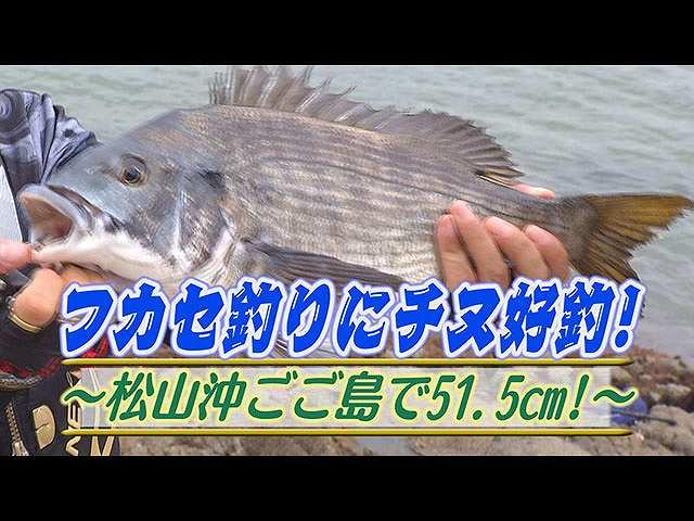 フカセ釣りチヌ好釣!松山沖ごご島51.5㎝!
