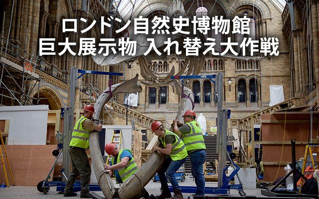 ロンドン自然史博物館 巨大展示物 入れ替え大作戦